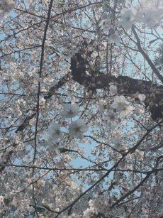 桜のような人生を。moe